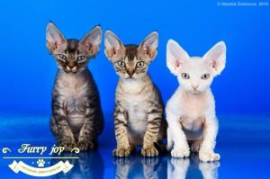 Девон-рексы котята 20.03